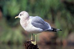 Mew Gull Photo