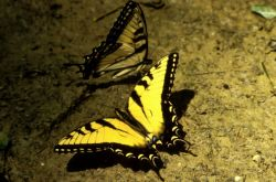 Tiger Swallowtail Butterfly Photo
