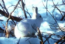 Arctic Hare Photo