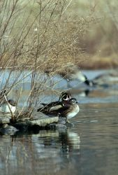 Wood Duck Pair Photo