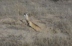 WOE1 Black-Footed Ferret Photo