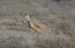 WOE1 Black-Footed Ferret Photo