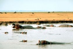 East African Hippopotamus Photo