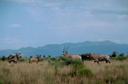 South African Oryx (Gemsbok) Photo