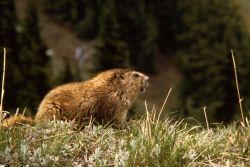 Marmot Photo
