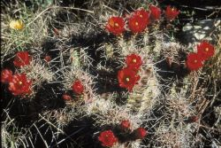 Claret Cup Cactus Photo