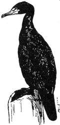 cormorant 2 Photo