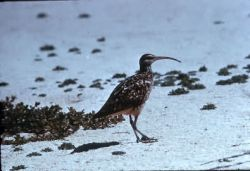 Bristle-thighed Curlew Photo