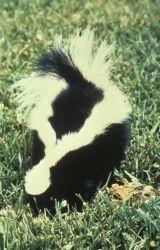 WO1760 Striped Skunk Photo