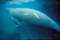 Manatee with Scar Photo