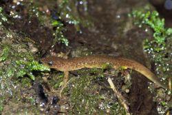 Olympic Salamander Photo