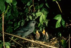 Catbird and Young Photo