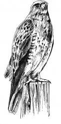 Swainson's Hawk Perched Photo