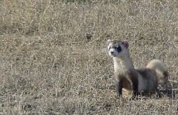 WOE2 Black-Footed Ferret Photo