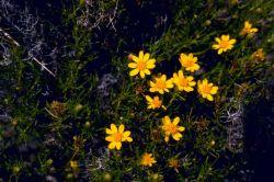 Snakeweed Photo