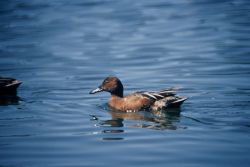 Cinnamon Teal Photo