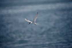 Forster's Tern Photo
