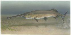 Paddlefish Photo
