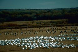 Snow Geese and Sandhill Cranes Photo