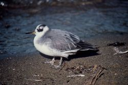 Red Phalarope Photo