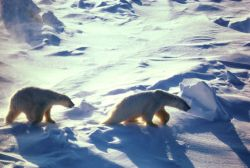 Polar Bears In Cape Lisburne Photo
