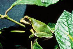 Pine Barrens tree frog Photo