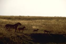 African Lions at Sunset Photo