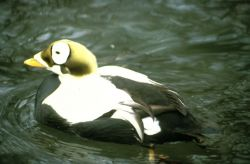 Spectacled Eider Photo