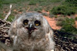 Great Horned Owl (3 weeks) Photo
