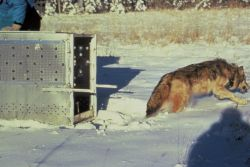 Gray Wolf - radio collared wolf released Photo