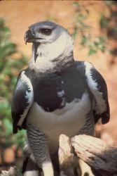 Harpey Eagle Photo