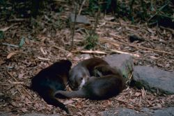 River Otters Photo