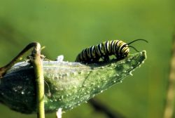Monarch Butterfly Caterpillar Photo