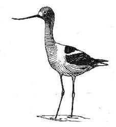 avocet 2 Photo