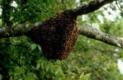 Honeybees Photo