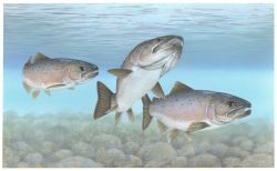 Atlantic Salmon Photo
