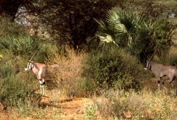 Beissa Oryx Photo