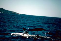 Humpback Whale, Mexico Photo