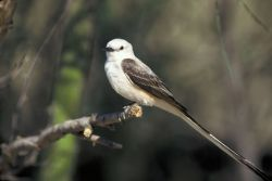 Scissor-tailed Flycatcher Photo