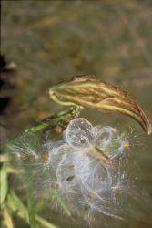 Milkweed Photo