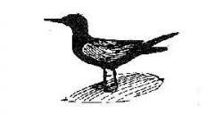 black tern Photo