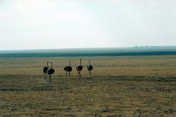Ostrich (Females) Photo