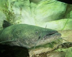 Flathead CatFish Photo