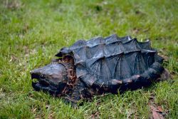 Alligator Snapping Turtle Photo