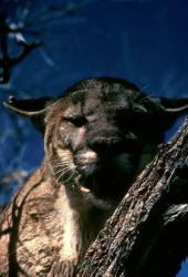 Florida Panther Photo