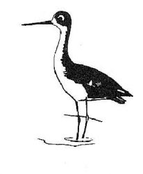 Black-necked Stilt Photo