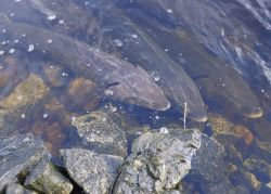 Lake Sturgeon Photo