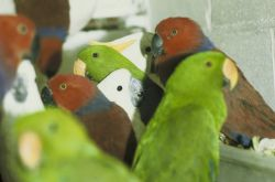 Seized Illegal Shipment of Electus Parrots and Cockatoos Photo