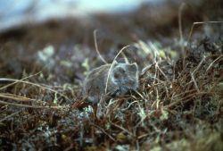 Tundra Vole Photo