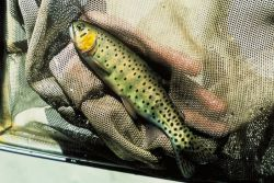 Greenback Trout Photo